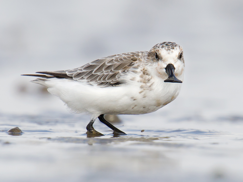 On 14 Sept. 2014, on the mudflats at Yangkou Elaine and I found this Spoon-billed Sandpiper. It is an adult, with traces of the rufous breeding plumage still visible on the face and throat.