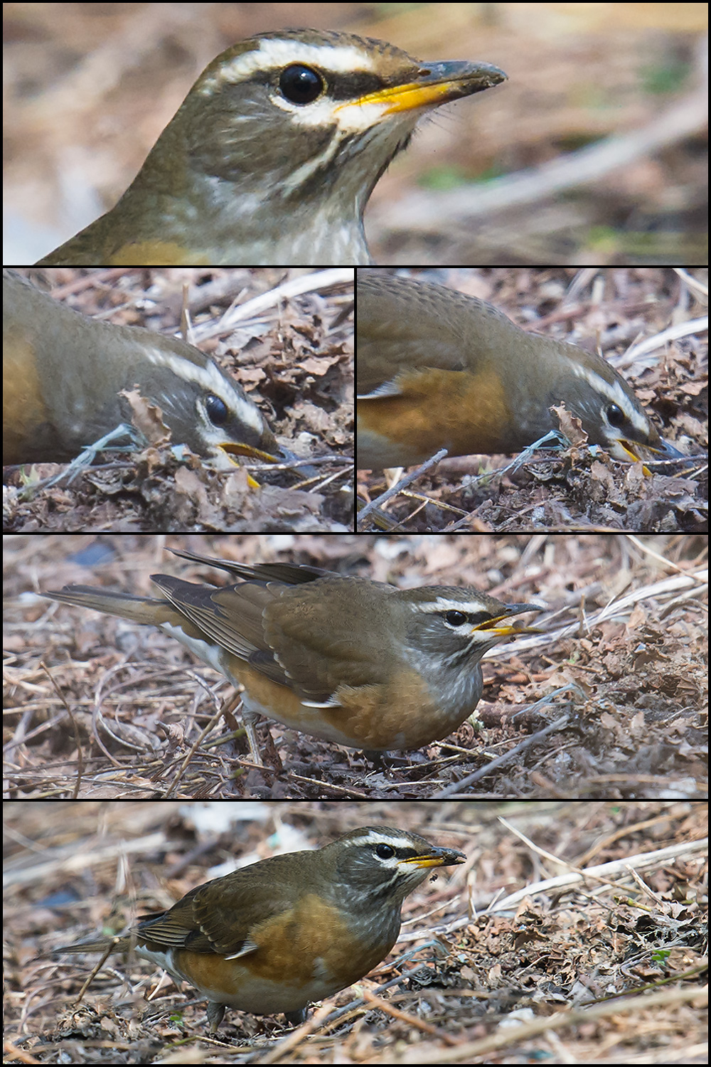 Eyebrowed Thrush feeding in Microforest 4, Nanhui, 3 Nov. 2016.