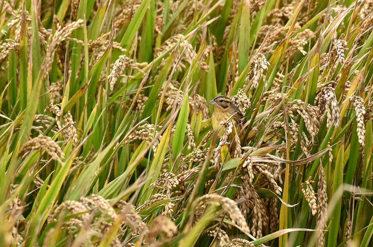 Our partner Mike May got this image of a Yellow-breasted Bunting feeding on rice near Luchao. The endangered buntings were found at the spot we call the Marshy Agricultural Land (). On 5 Nov. 2016 we first found Yellow-breasted Bunting there. We returned on 8 Nov., when Mike got this shot, as well as 9 Nov., finding the species there each time.