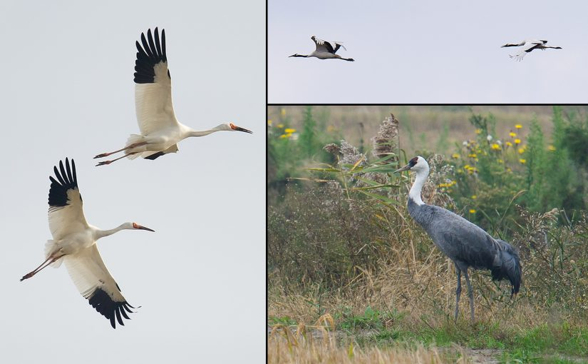 Three species of crane have made unexpected appearances in Shanghai in November and December 2016. Photos by Craig Brelsford.