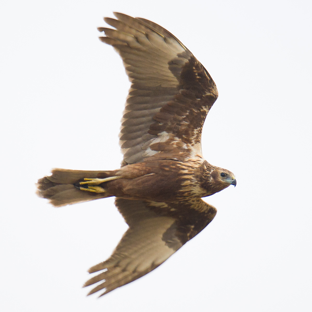 Eastern Marsh Harrier, Hengsha. Craig Brelsford.
