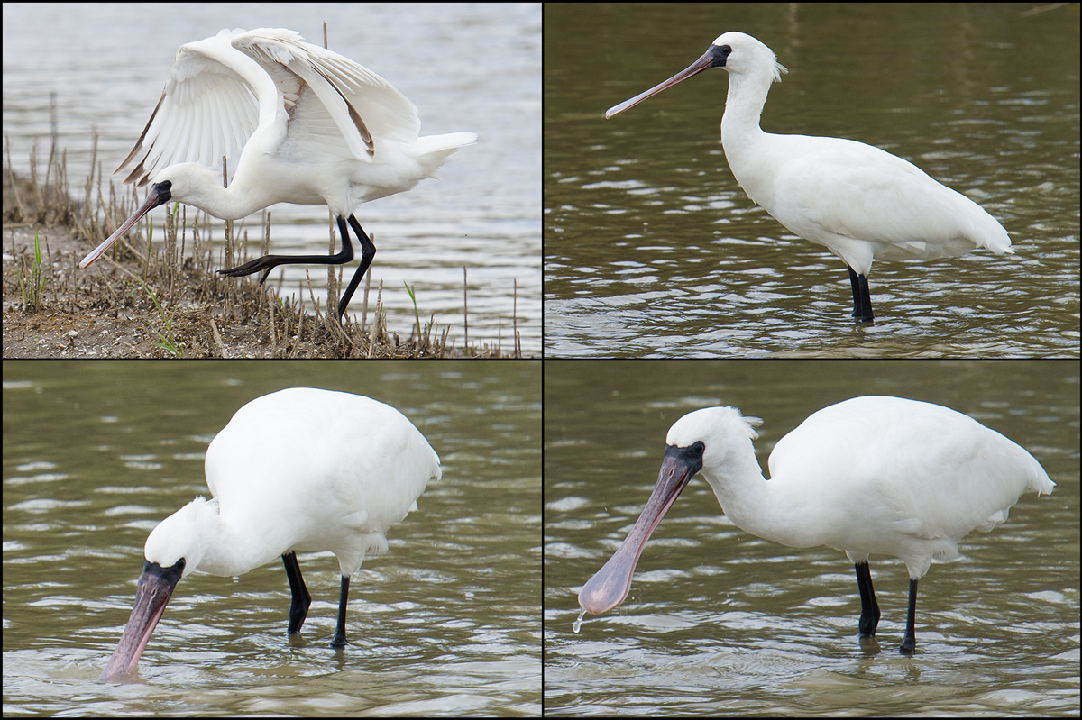 Pink-billed juvenile Black-faced Spoonbill feeds in the defunct nature reserve at Nanhui, 23 Oct. 2016.