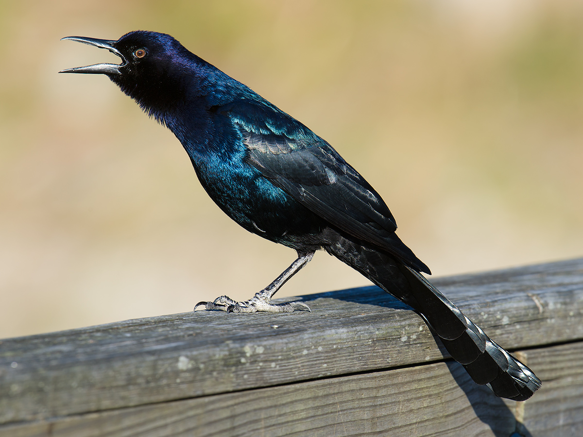 Boat-tailed Grackle, Gemini, 28 Jan.