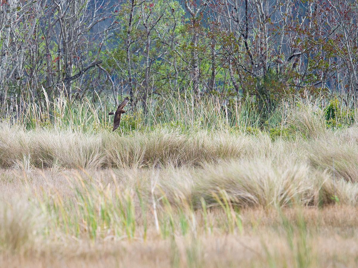 Northern Harrier, Lake Woodruff National Wildlife Refuge, 28 Jan. 2017.