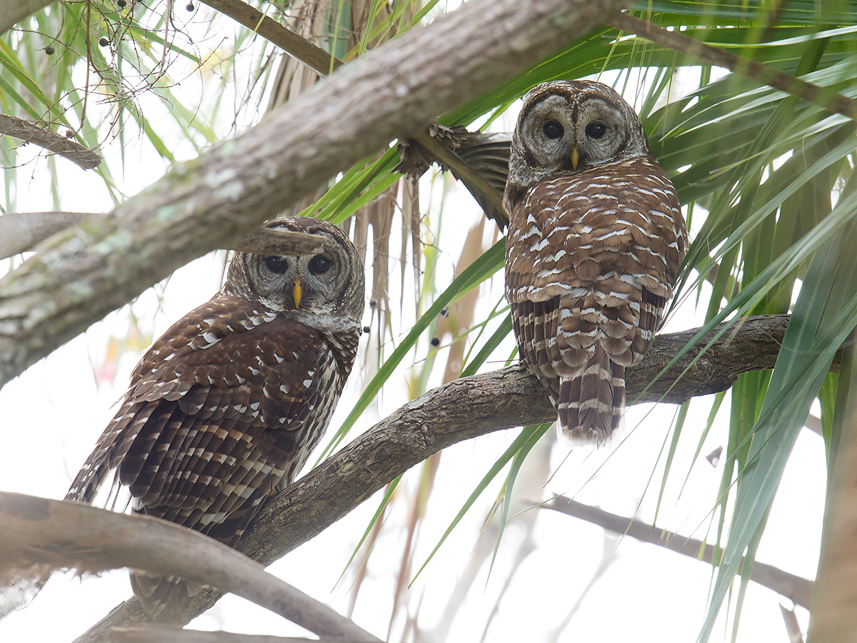 Pair at Lake Woodruff National Wildlife Refuge, 26 Jan.