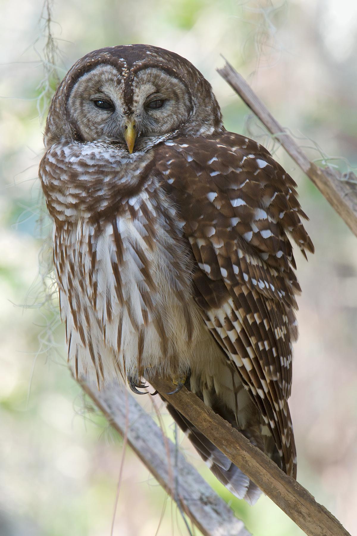 Sleepy Barred Owl at Gemini Springs, 28 Jan.