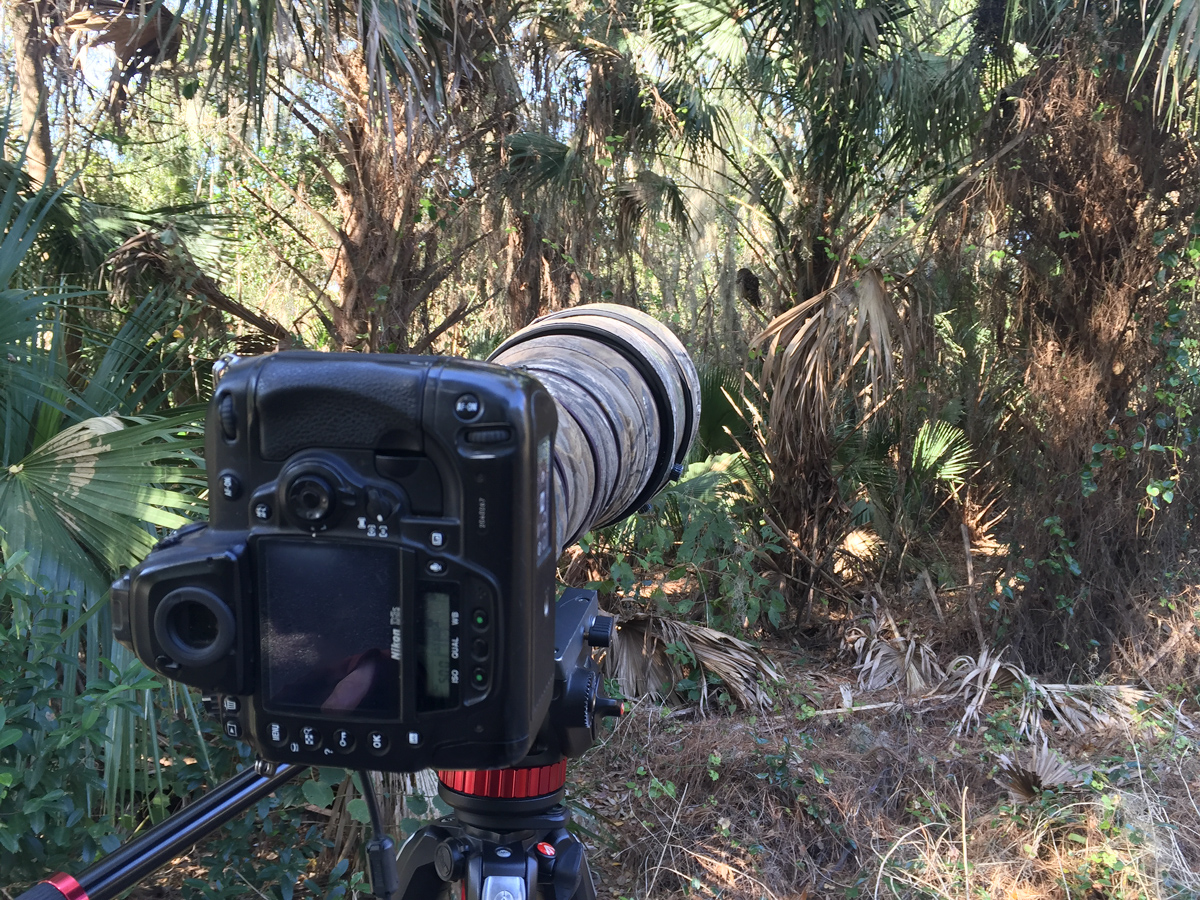 The Barred Owl was perching on a palm tree near a well-traveled bicycle path. No one noticed it.