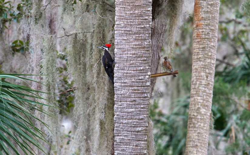 Pileated Wood pecker in classic Florida hammock habitat, Gemini Springs Park, 22 Jan. 2017.
