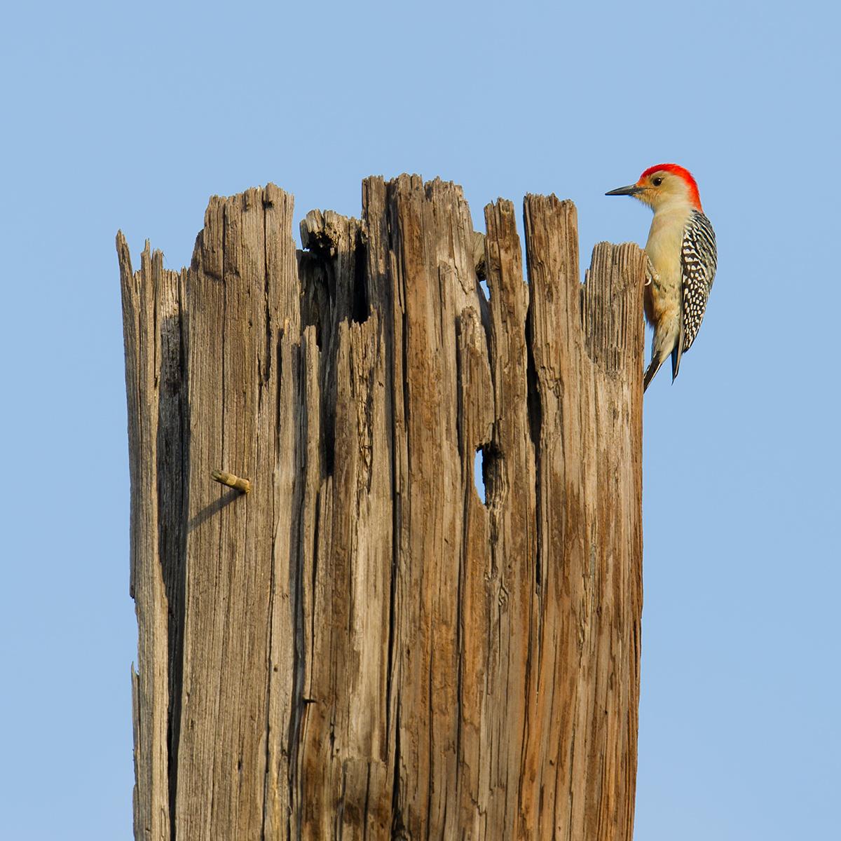 Red-bellied Woodpecker, 27 Jan.