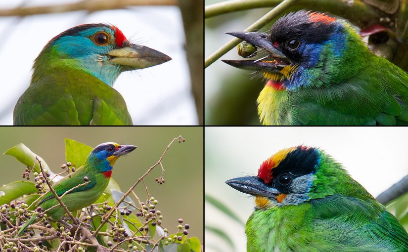 Editor's note: The hollow, repetitive calls of barbets in the genus Psilopogon are a familiar background sound in tropical and subtropical Asia. In Japan, the calls would be completely out of place. Pictured above, clockwise from top left, are Chinese Barbet P. faber, Blue-throated Barbet P. asiaticus, Golden-throated Barbet P. franklinii, and the species in question here, Taiwan Barbet P. nuchalis. All copyright 2010-2017 by Craig Brelsford.