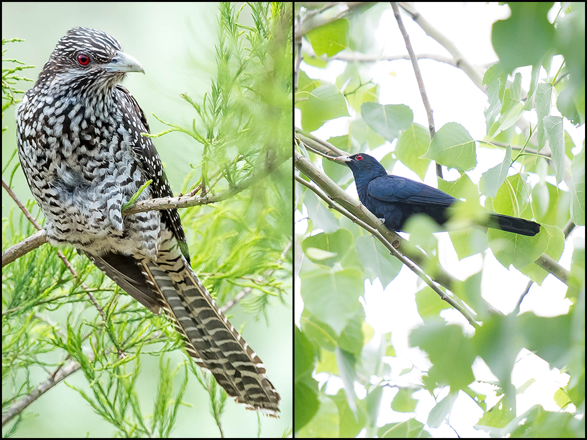 L: Asian Koel, female, 2 June 2016, Nanhui, Shanghai (Kai Pflug). R: Asian Koel, male, 17 May 2015, Dongtai, Jiangsu (Craig Brelsford).