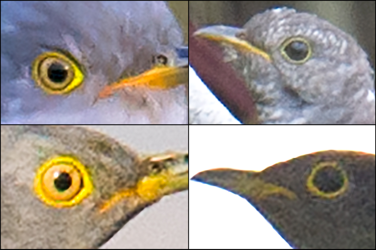 Comparison of Indian Cuckoo and Common Cuckoo. Bottom-left cuckoo is Common; note yellow iris and compare to dark iris of Indian in bottom-right panel. Top two panels also Indian Cuckoo. All photos taken 17 May 2016 at Nanhui. (Craig Brelsford)