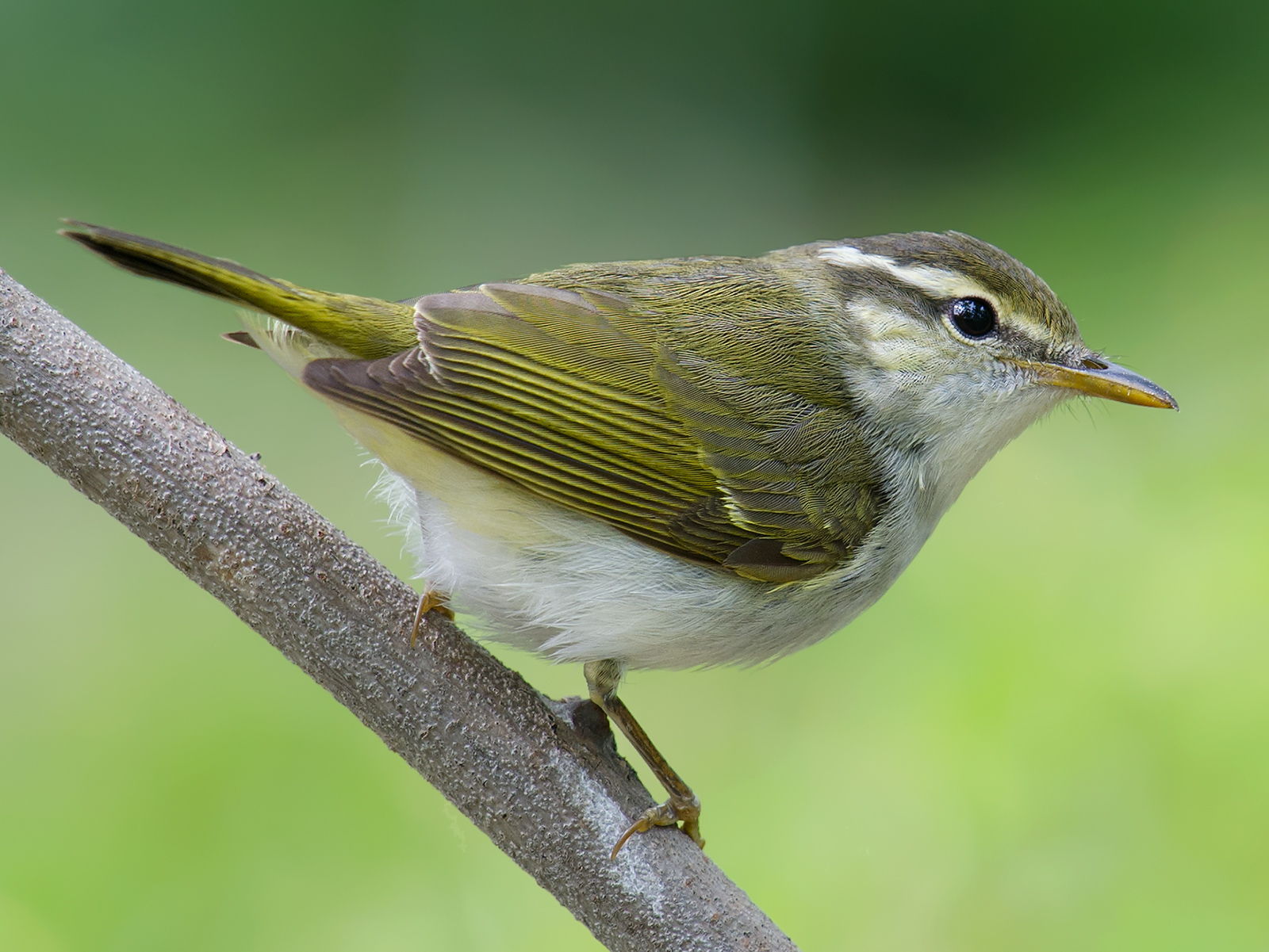 Eastern Crowned Warbler, 14 May 2014, Yangkou. Craig Brelsford.