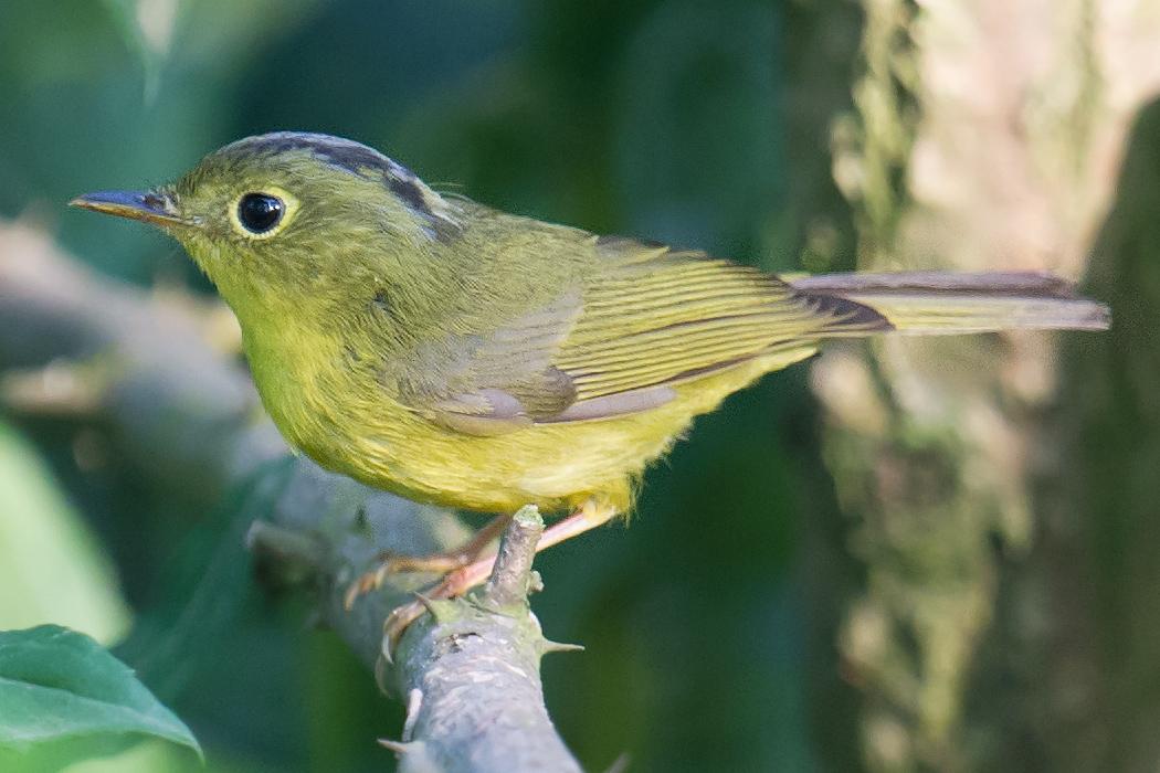 Alstrom's Warbler, Microforest 2, 14 May 2017. (Craig Brelsford)