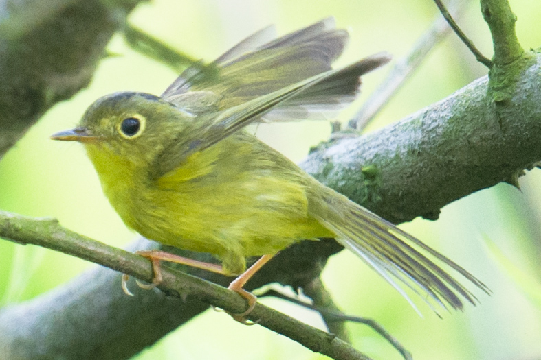 Alstrom's Warbler with splayed tail feathers. Craig Brelsford