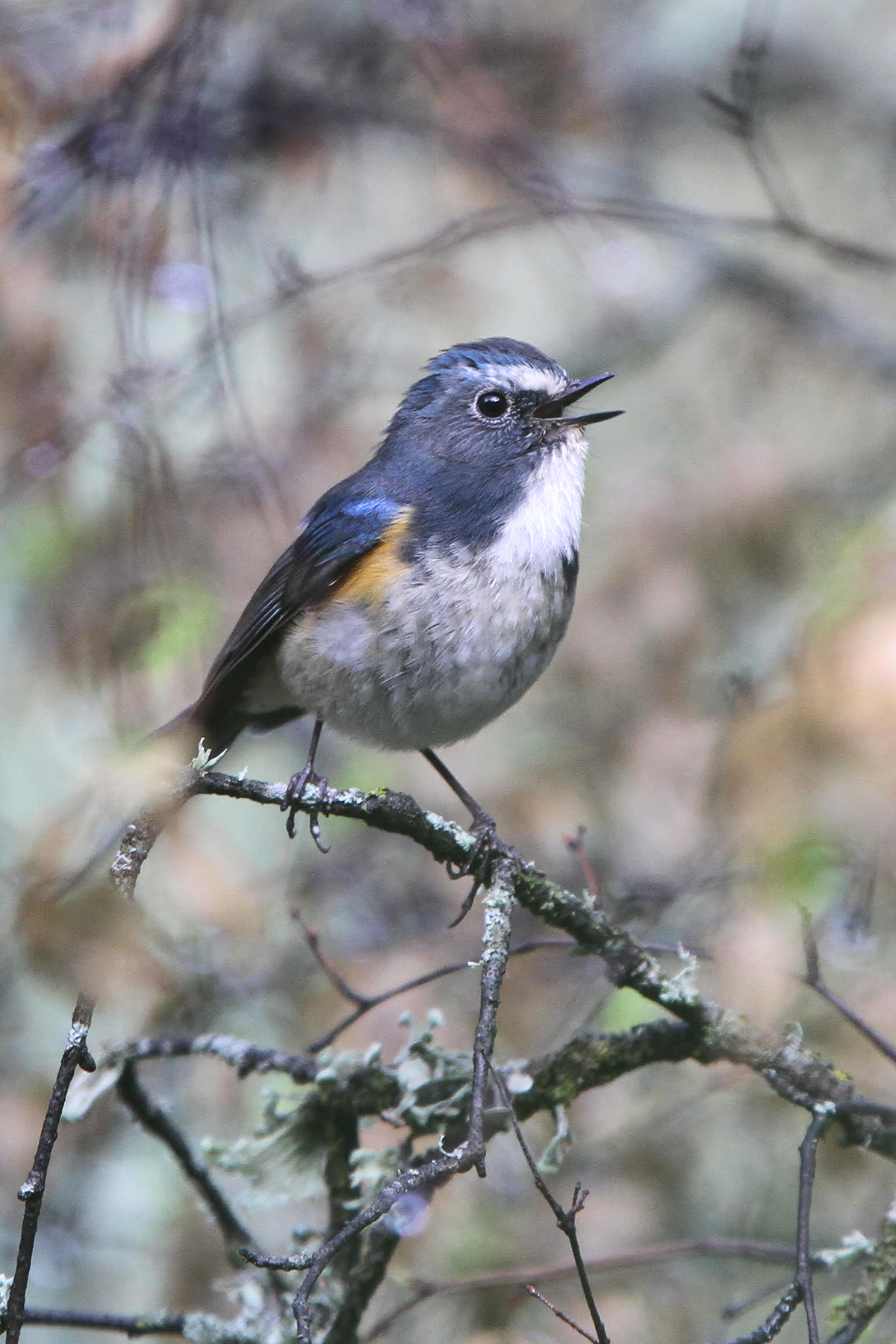 James Eaton from Birdtour Asia very kindly shared with me a photo of an adult-male 'Gansu' Bluetail taken June 2011 at Huzhu Beishan, Haidong Prefecture, Qinghai. (James Eaton/Birdtour Asia)