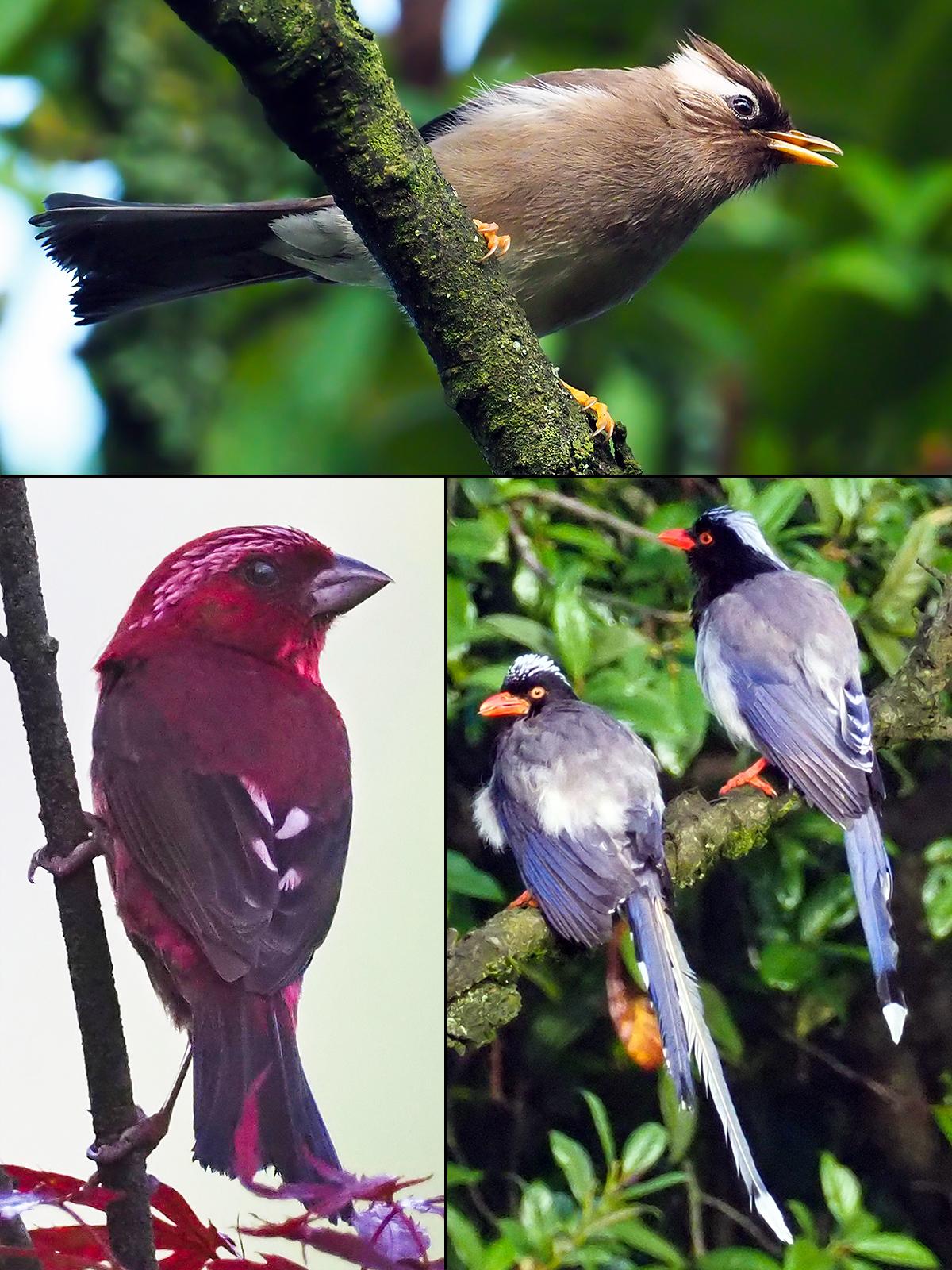 Birds of the lower country and hotel gardesn. Top: White-collared Yuhina <em>Yuhina diademata</em>. Bottom: Vinaceous Rosefinch <em>Carpodacus vinaceus</em> (L) and Red-billed Blue Magpie <em>Urocissa erythroryncha</em>. (John MacKinnon)