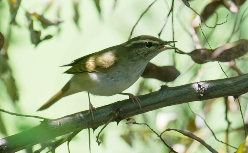 Separating Pale-legged & Sakhalin Leaf Warbler on Call