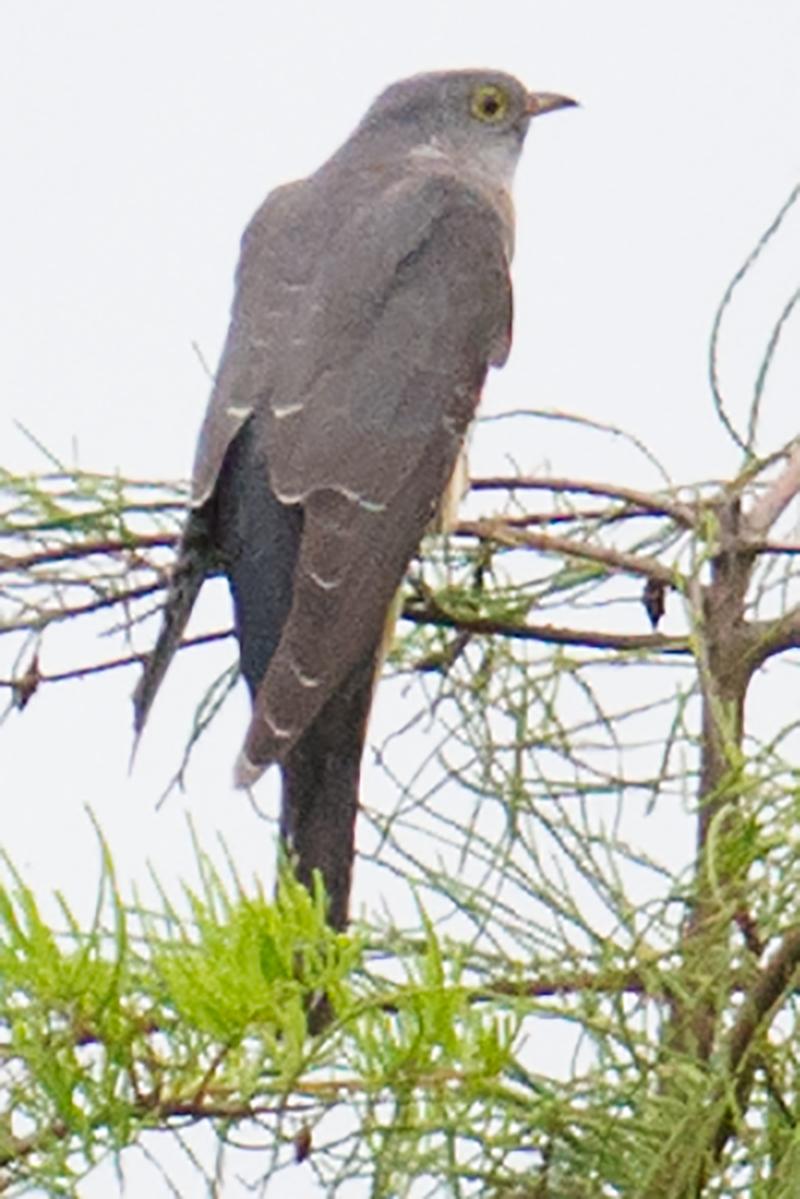 Lesser Cuckoo, 26 Aug. 2017, Cape Nanhui, Shanghai. (Craig Brelsford)