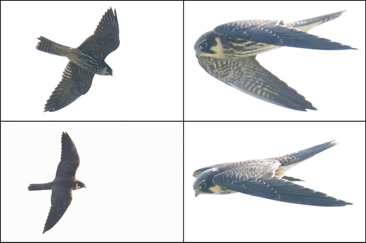 Peregrine Falcon, Nanhui, 24 Sept. 2016.