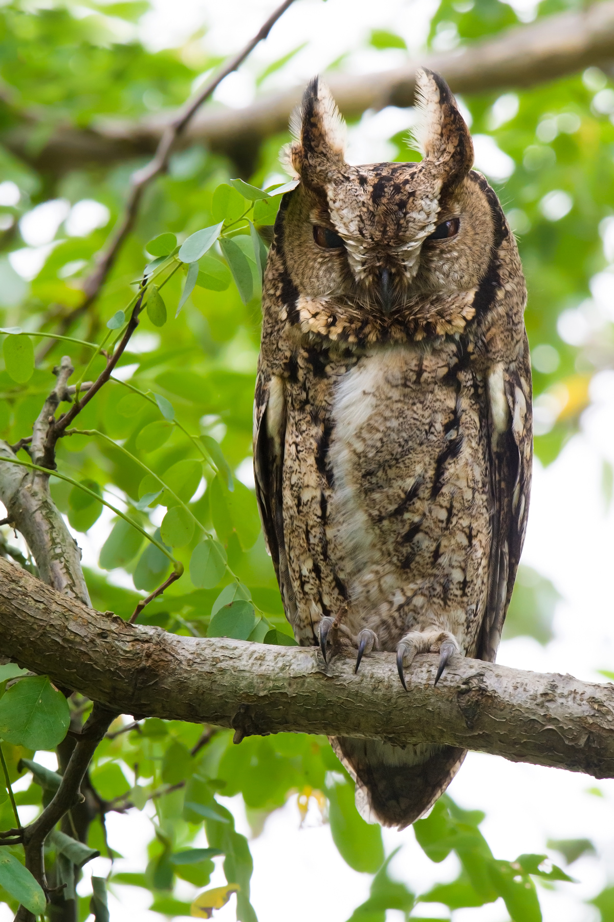Japanese Scops Owl. (Craig Brelsford)