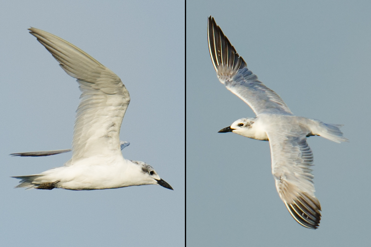 Gull-billed Tern, 4 Sept. 2017, Cape Nanhui, Pudong, Shanghai. (Craig Brelsford)