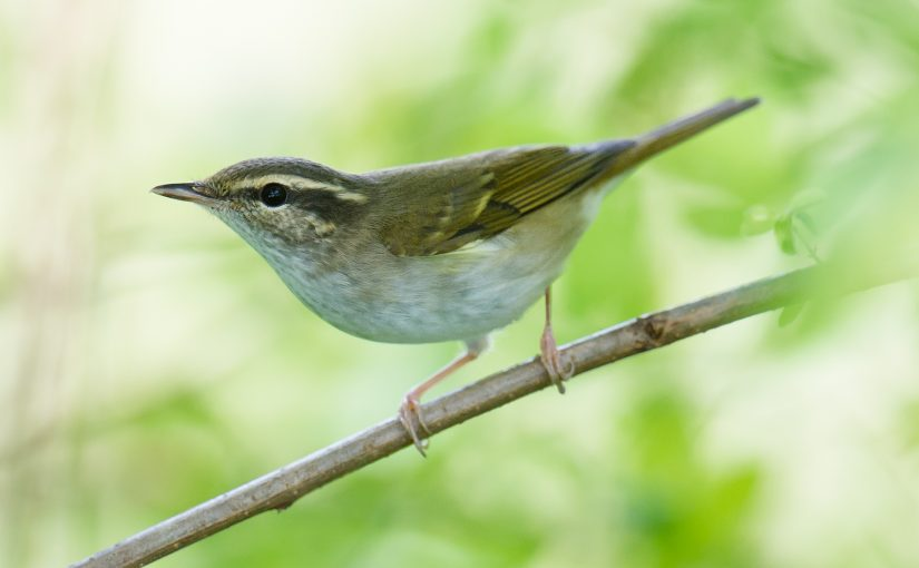 Sakhalin Leaf Warbler in Shanghai: A Clearer Picture