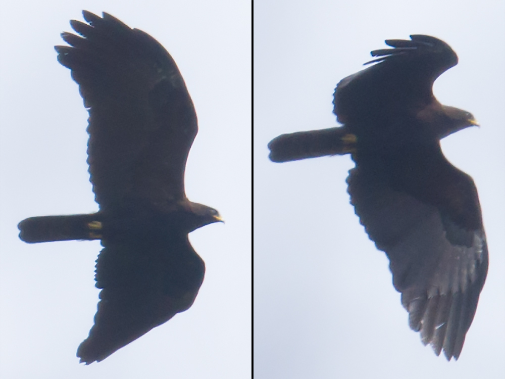 At West Tianmu we had Black Eagle cruising low over the forest. (Craig Brelsford)