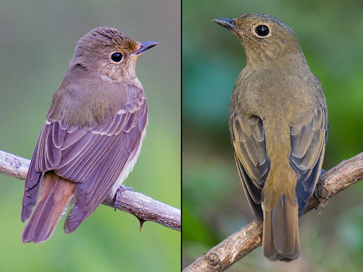 Female Narcissus Flycatcher (L) and female Blue-and-white Flycatcher (R). (Craig Brelsford)