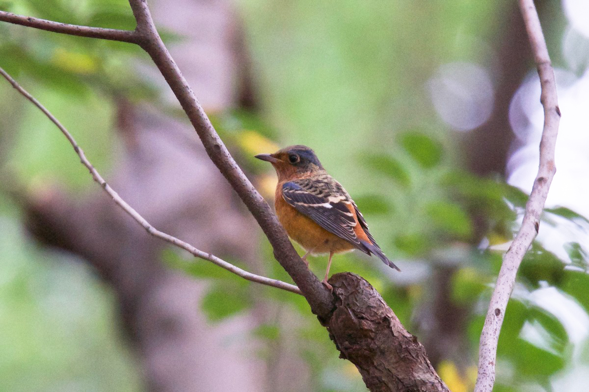 White-throated Rock Thrush, a new record for Pudong's Century Park. (Komatsu Yasuhiko)