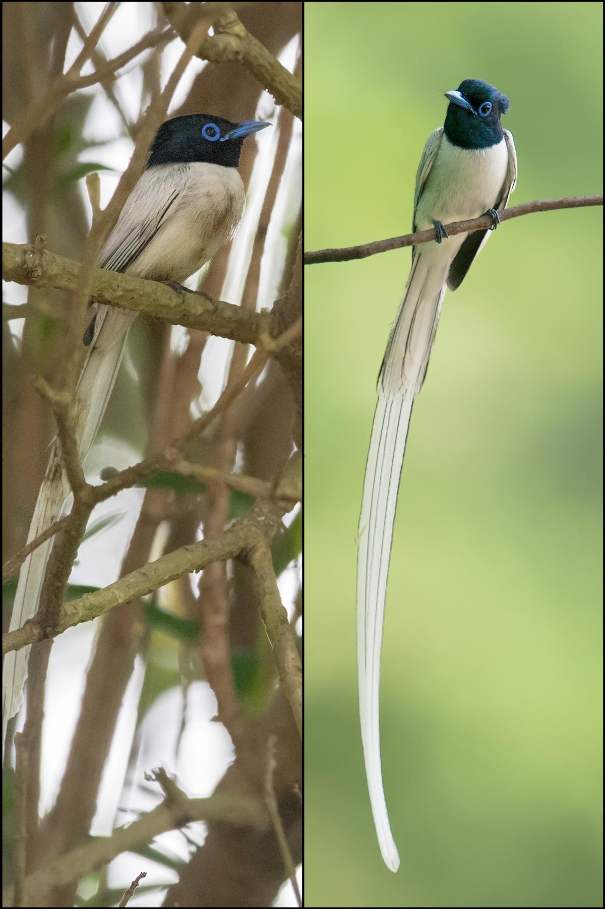L: Amur Paradise Flycatcher, white morph, Nanhui. By Kai Pflug. R: same, Dongzhai, by Craig Brelsford.