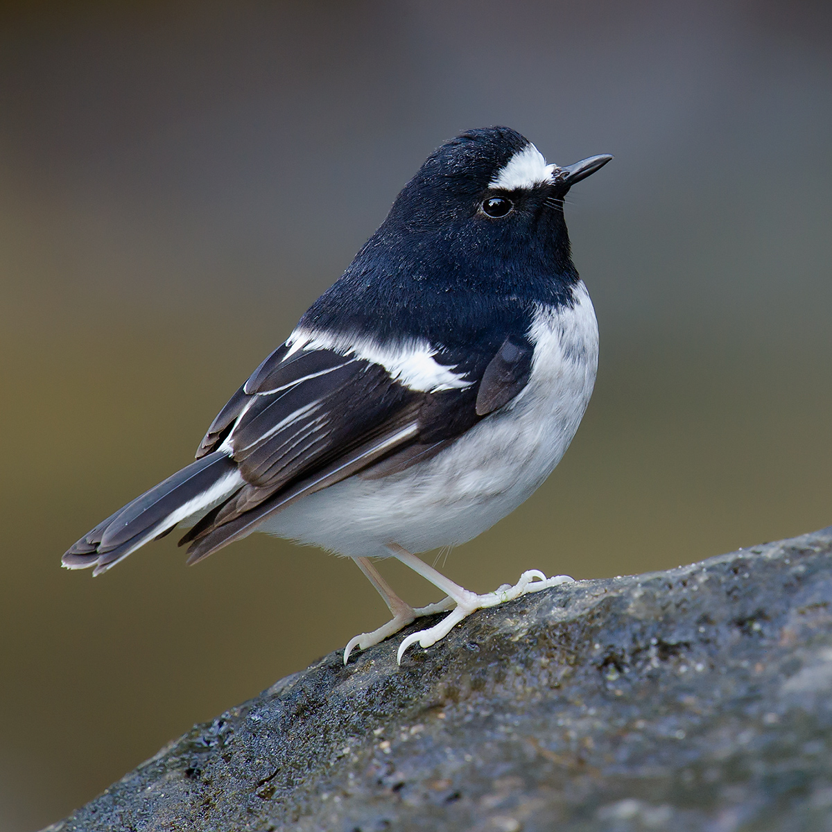 Little Forktail, Nabang, Yunnan, China, 30 Jan. 2014. (Craig Brelsford)