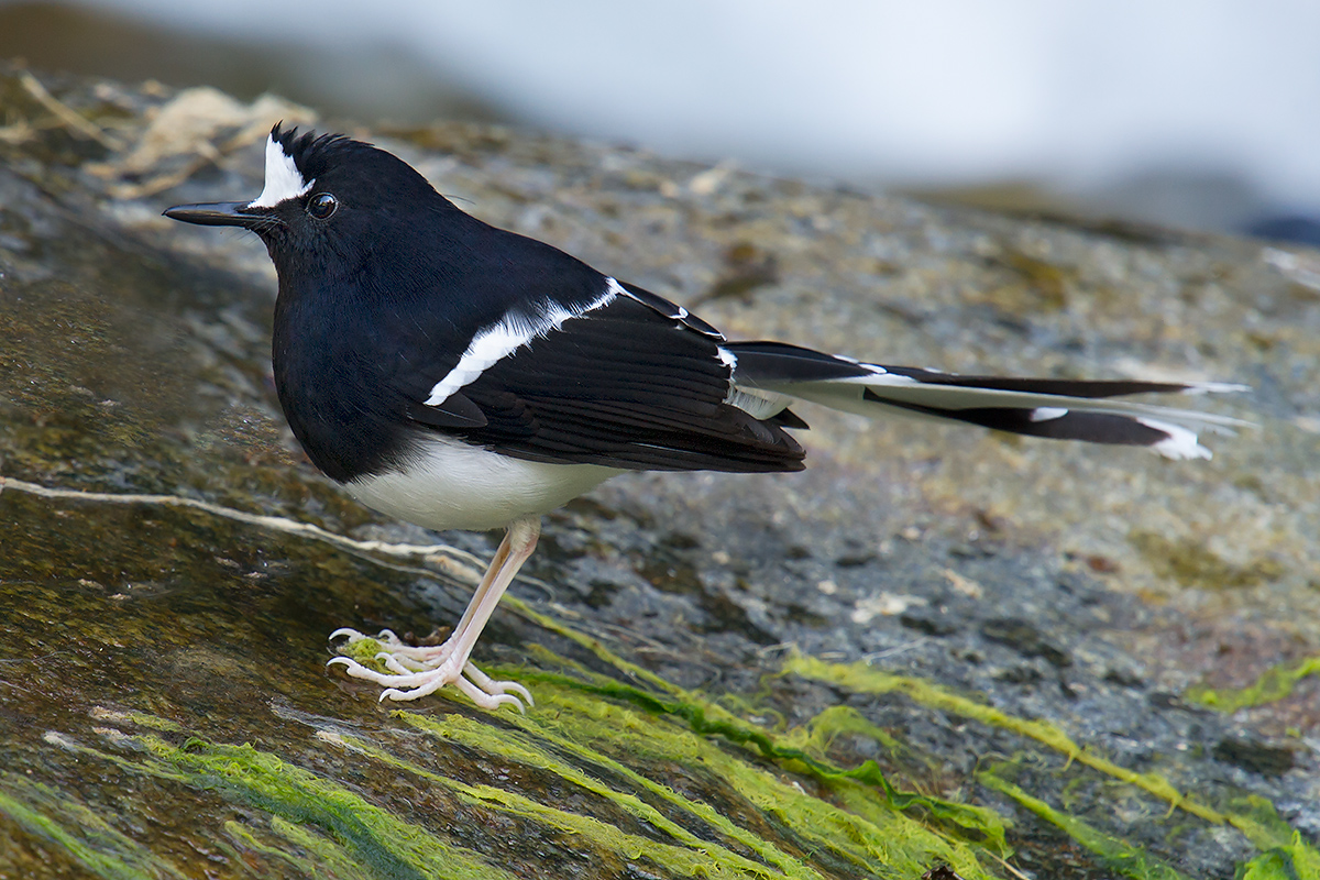 White-crowned Forktail, Nabang, Yunnan, China, 30 Jan. 2014. (Craig Brelsford)