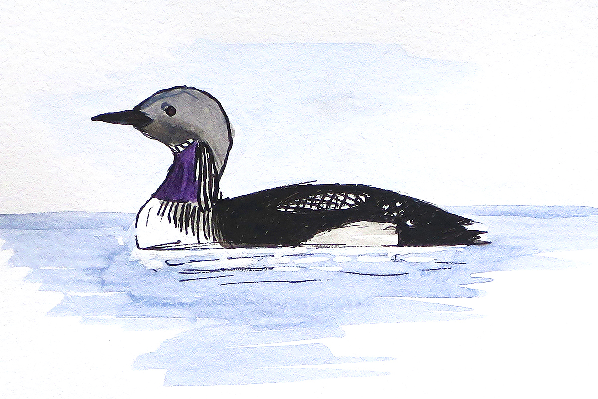 Black-throated Loon Gavia arctica. Breeding plumage. (Louis-Jean Germain)