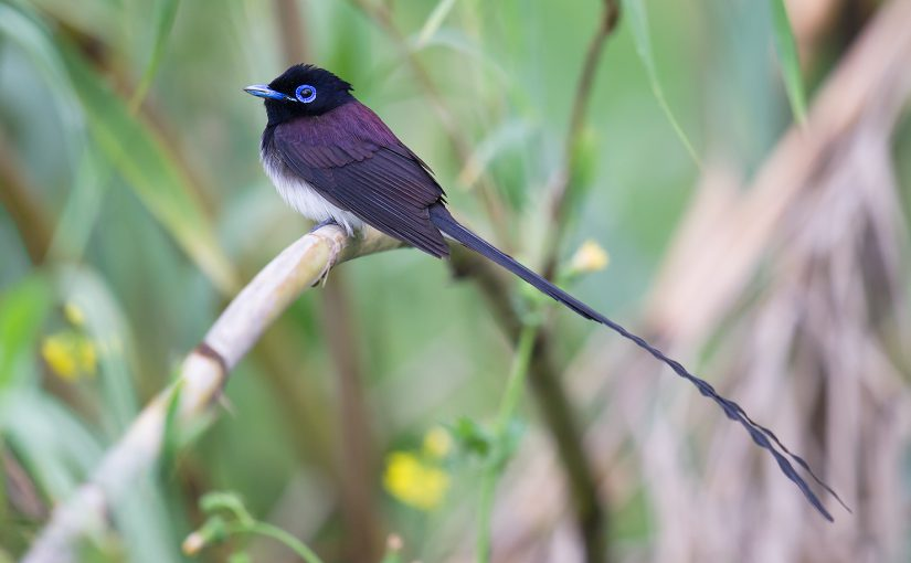 Japanese Paradise Flycatcher, Yangkou, Jiangsu, 2 May 2012, by Craig Brelsford.