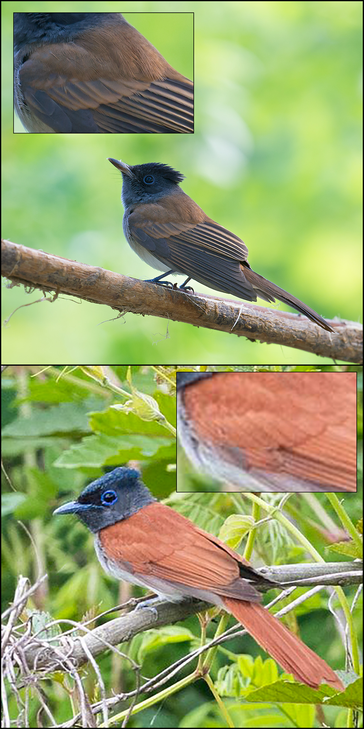 Top: Japanese Paradise Flycatcher (Craig Brelsford). Bottom: Amur Paradise Flycatcher (Kai Pflug).