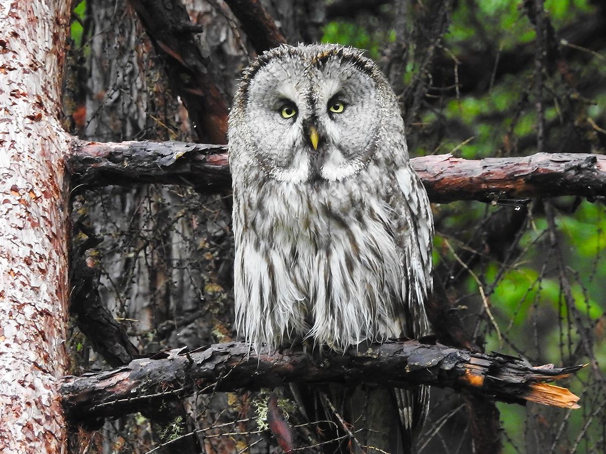 Great Grey Owl, by John MacKinnon.
