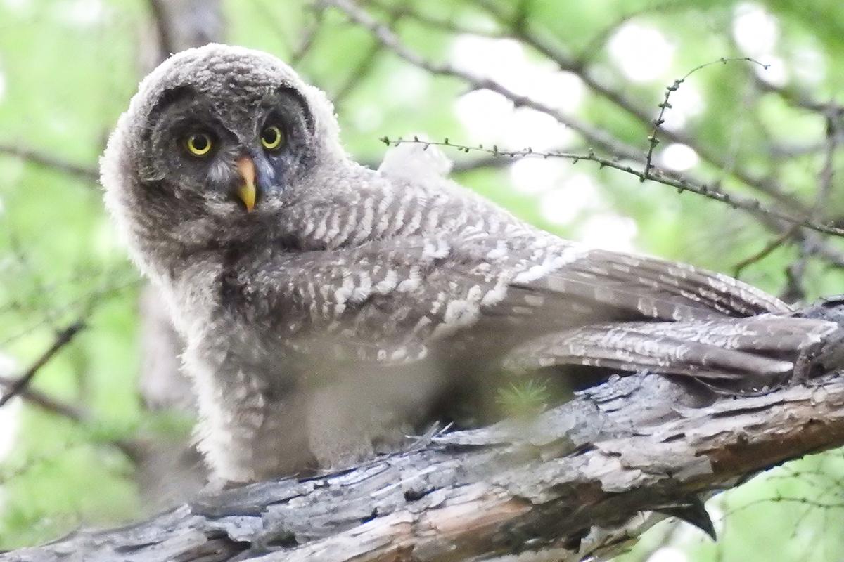 Fledgling Great Grey Owl, by John MacKinnon.