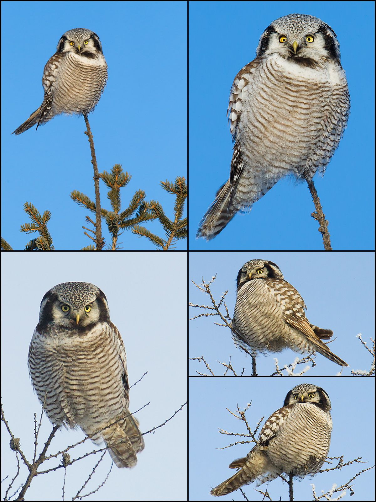 Northern Hawk-Owl, by Craig Brelsford. January 15-17, 2015.