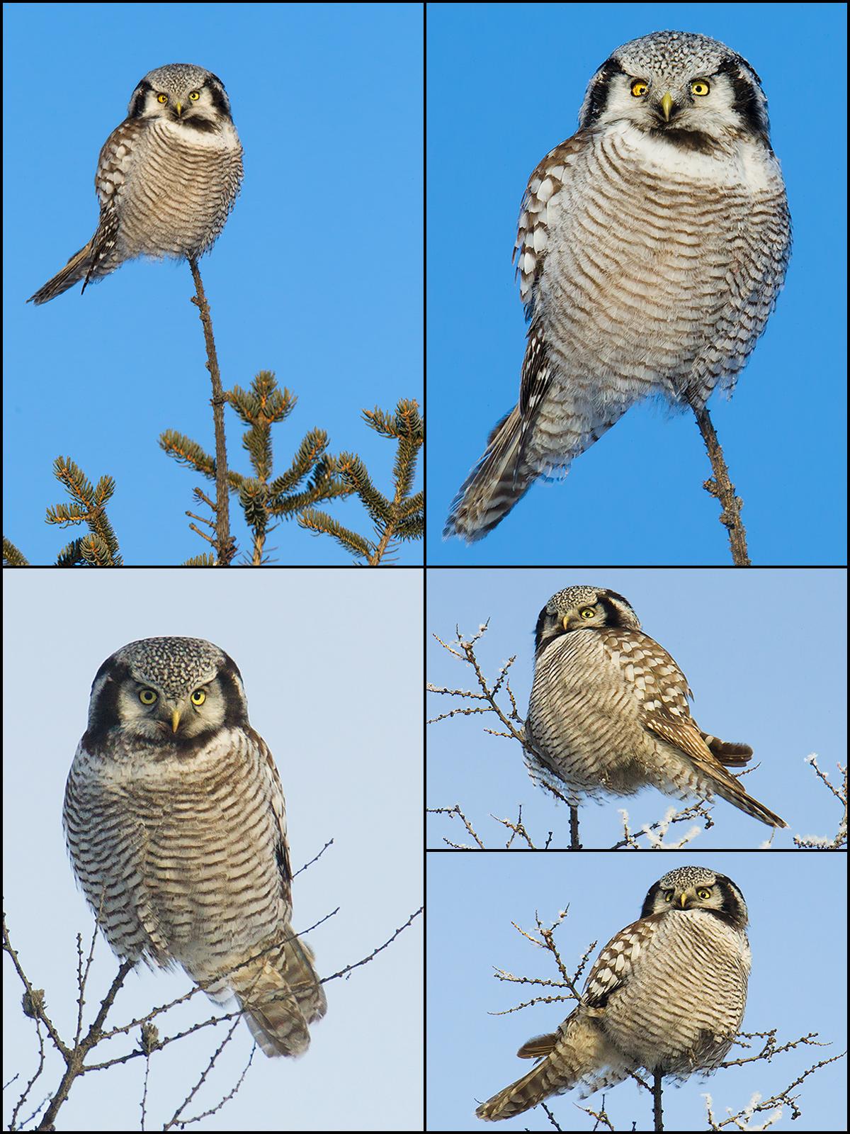 Northern Hawk-Owl, by Craig Brelsford. January 15-17, 2015.