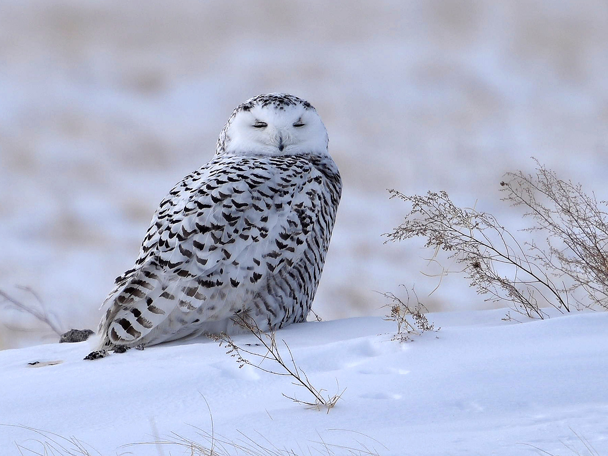 Kai Pflug took this shot of Snowy Owl in Inner Mongolia in February 2015.