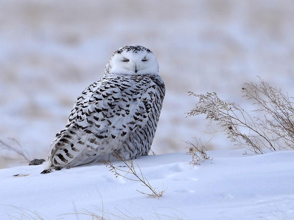 Kai Pflug took this shot of Snowy Owl in Inner Mongolia in February 2015.