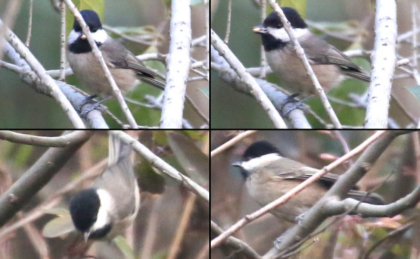 Songar Tit Poecile montanus stoetzneri, historic first sighting of Willow Tit in Shanghai. Century Park, Shanghai, 24 Dec. 2017. (Steven Lin)