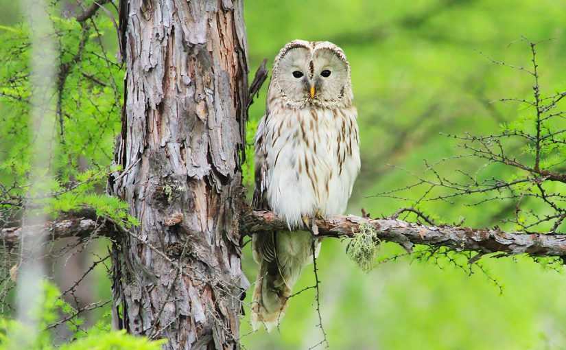 Ural Owl, Greater Khingan Range, Inner Mongolia. Photo by Li Jixiang.