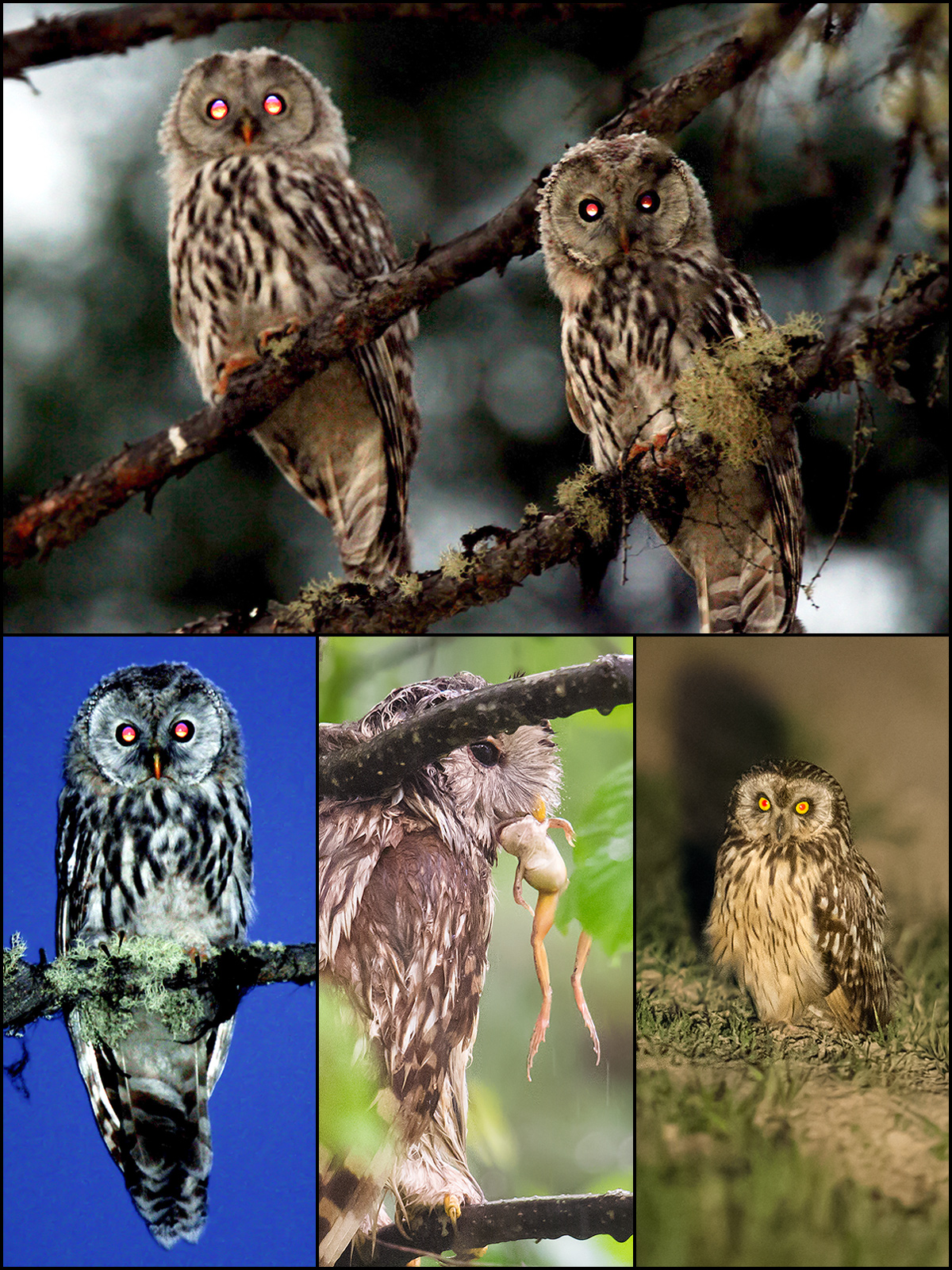 "'Ural Owl,' writes MacKinnon, 'is a true wood owl [and] an impressively large bird. It looks, sounds, and behaves like a giant Himalayan Owl. ... Short-eared Owl is a grassland species that also moves to warmer locations in winter."" Top: Ural Owl, fledglings, Daxing'anling (John MacKinnon). Bottom L: adult Ural Owl, Daxing'anling (Li Jixiang). Bottom C: Ural Owl with frog in rain, Raohe, Heilongjiang, 28 July 2015 (Craig Brelsford). Bottom R: Short-eared Owl, Honghe Nature Reserve, Heilongjiang, 30 July 2015 (Craig Brelsford)."