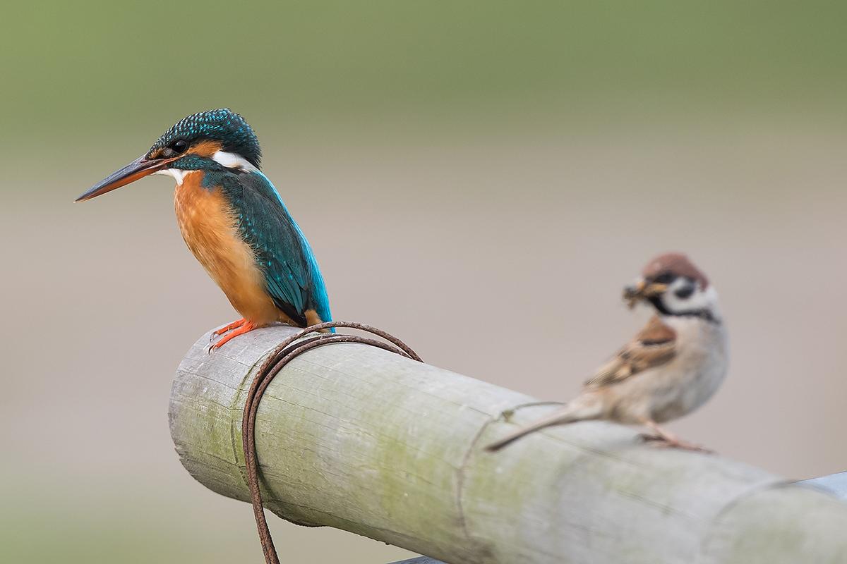 Common Kingfisher and Eurasian Tree Sparrow, Cape Nanhui, Shanghai, China, 2017. (Kai Pflug)