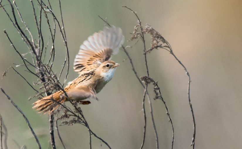 Marsh Grassbird, April 2018, Cape Nanhui, Shanghai, China. (Kai Pflug)