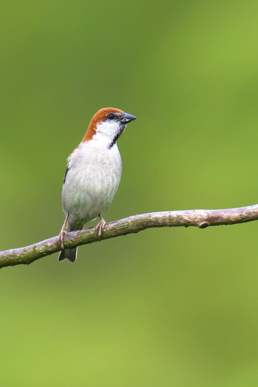 Russet Sparrow (Craig Brelsford)