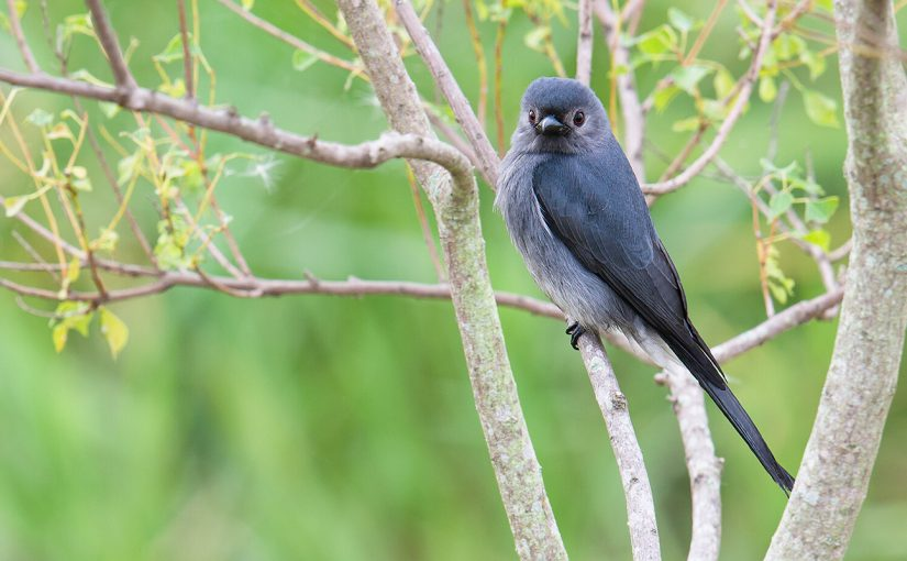 A Rare Look at <em>salangensis</em> Ashy Drongo