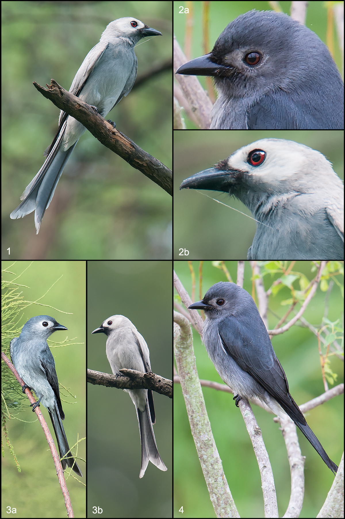 Ashy Drongo Dicrurus leucophaeus. All photos by Craig Brelsford except 3a (by Kai Pflug ).